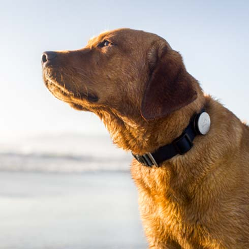 Brown dog wearing black collar