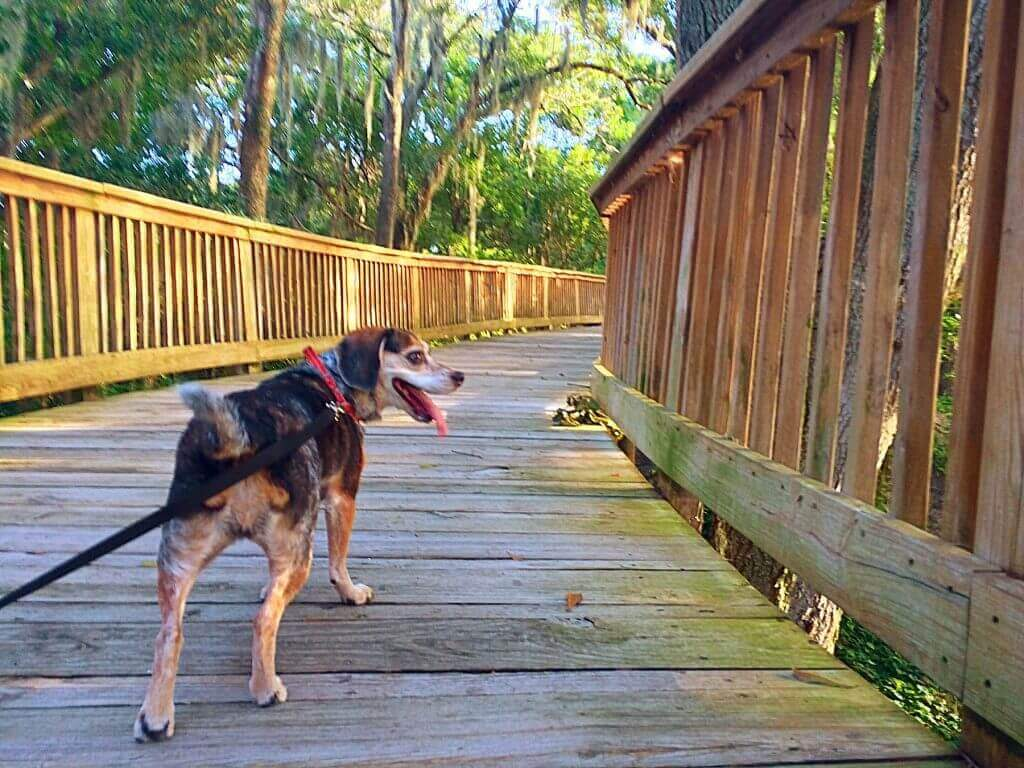 A medium sized brown dog on a leash walks down a wooden boardwalk in a southern forest