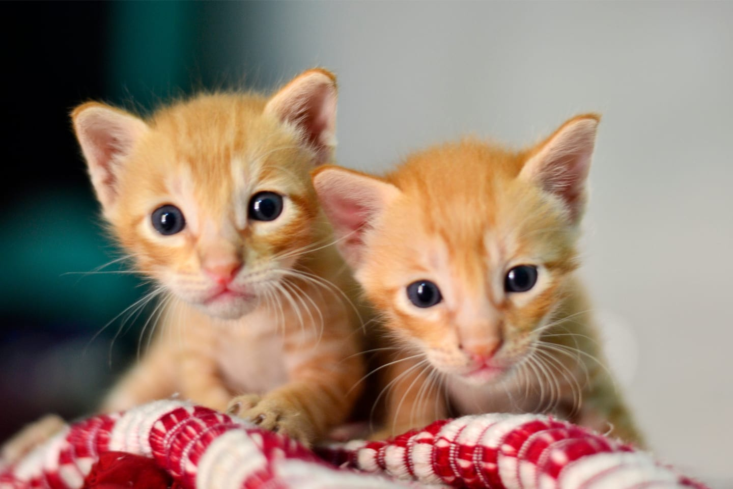 Two orange kittens on red & white blanket