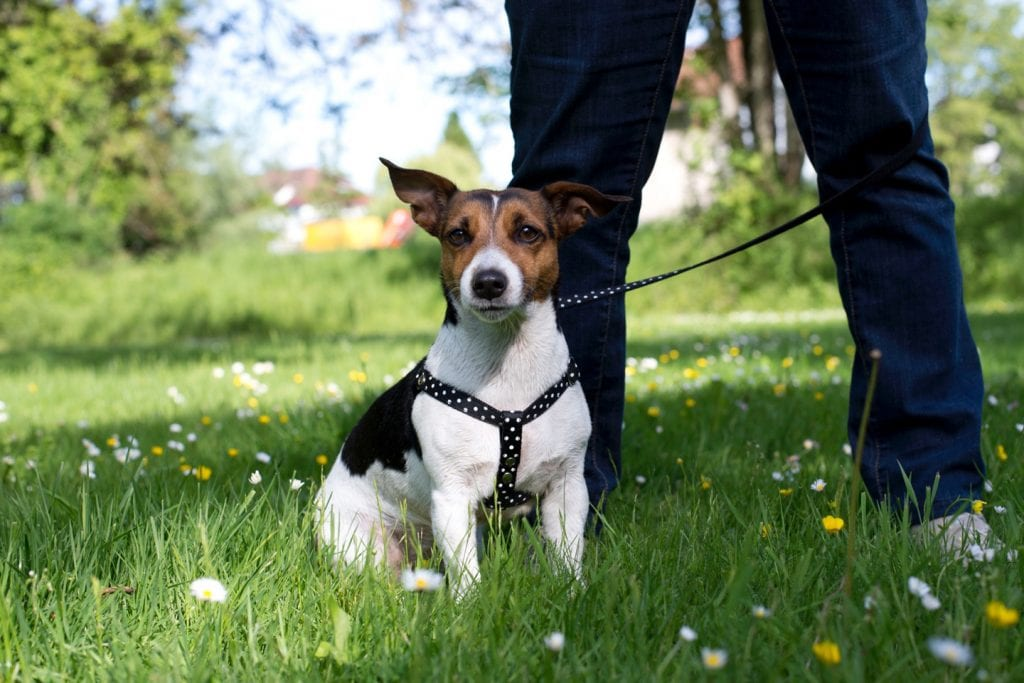 Black, brown & white dog wearing polka dot harness