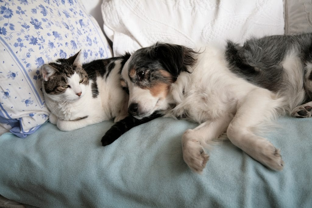 A white and gray dog and cat lay with each other in a human's bed