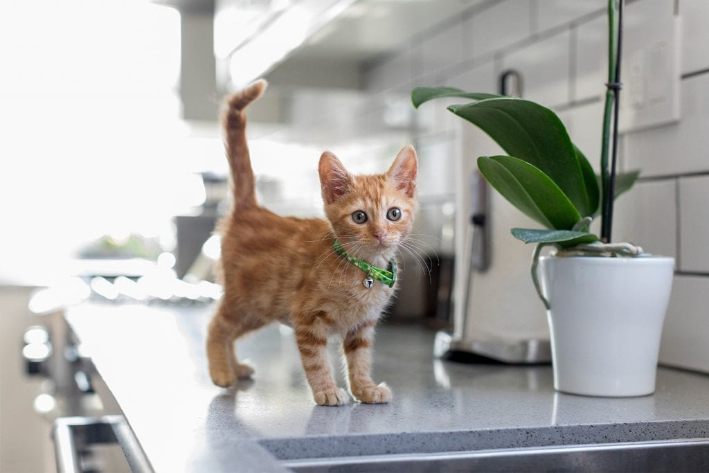 An orange kitten stands next to an orchid plant on a countertop