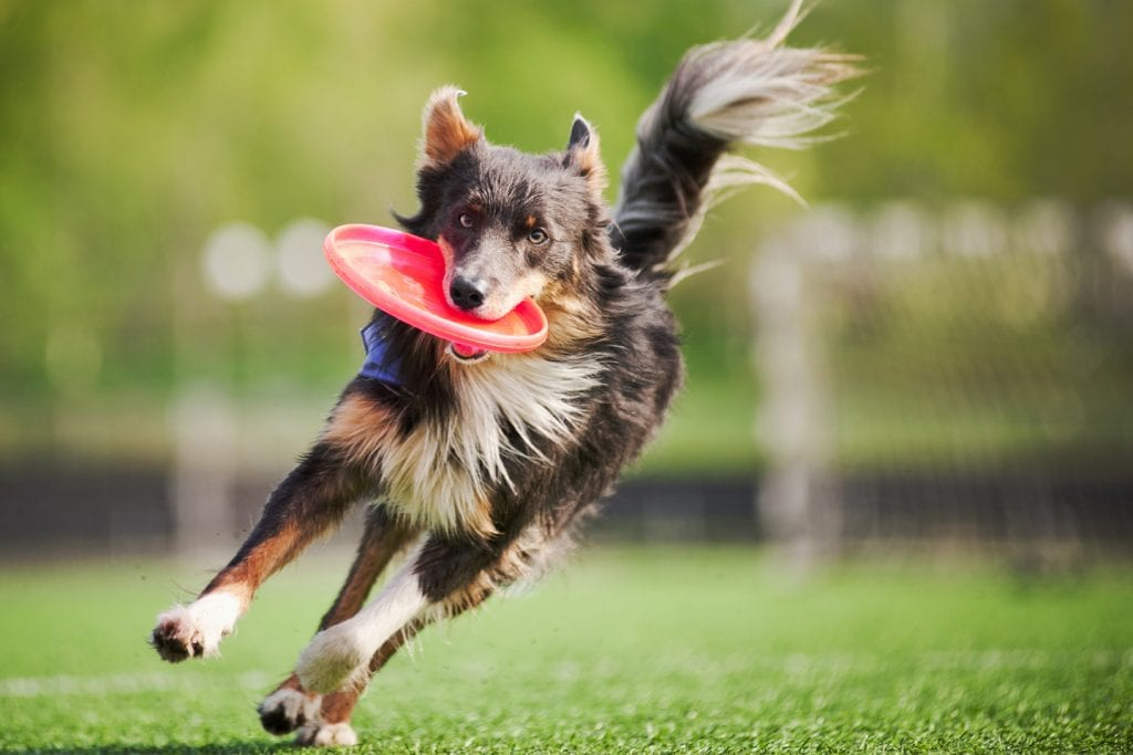 Brown and white dog catching a frisbee (768x512)