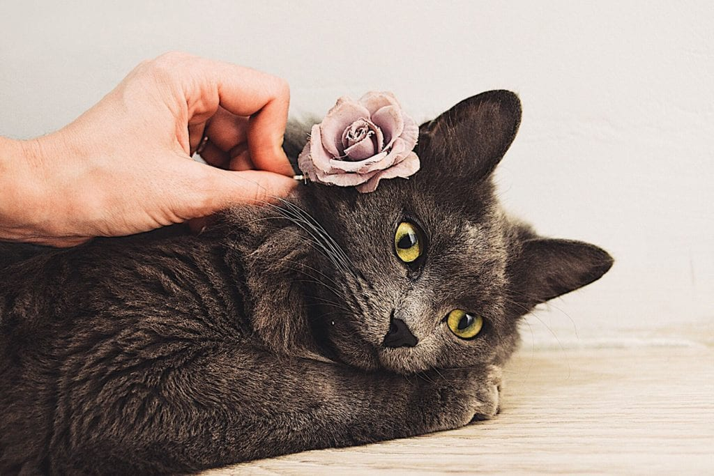 A gray cat laying down with a hand placing a rose hair clip on its head