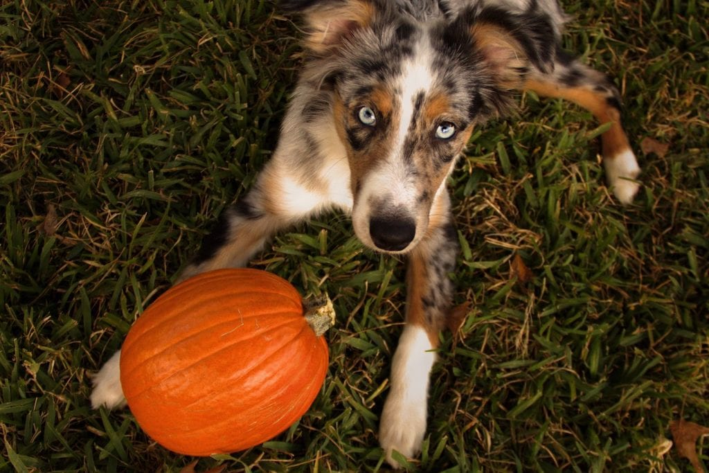 Pet Superfood How To Cook Pumpkin For Cats And Dogs