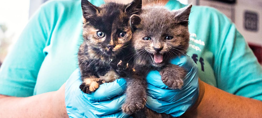 A person wearing rubber gloves holds two gray kittens