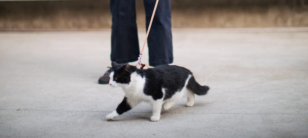 Can you walk a cat?
